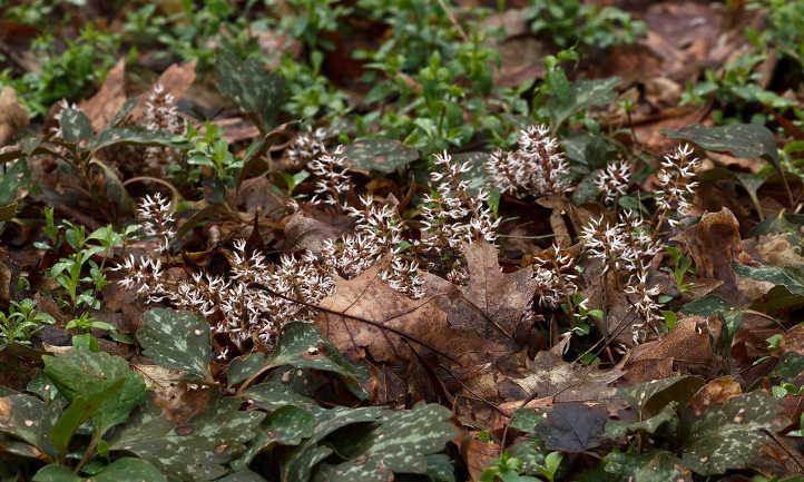 Pachysandra flowers