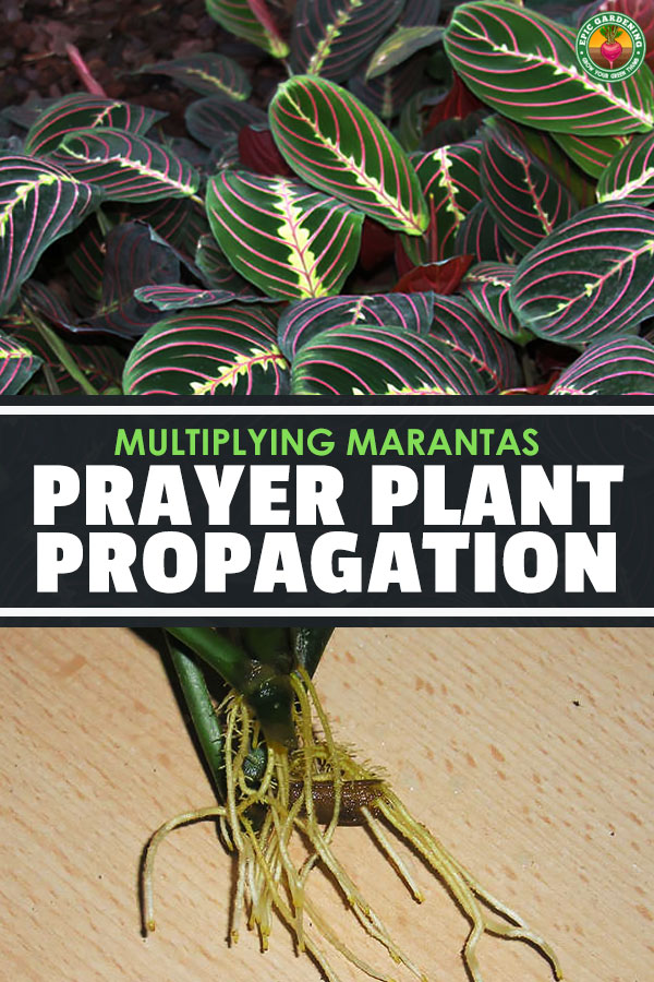 We\'ve got plenty of tips for easy prayer plant propagation techniques to share with you! It\'s not hard to multiply your maranta plants.