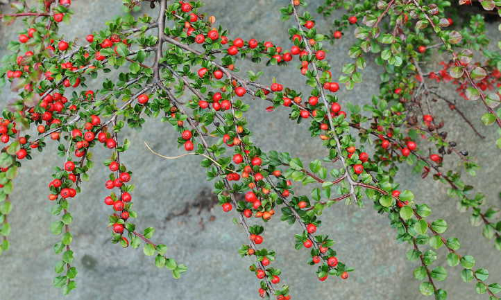 Branch formation of rock cotoneaster
