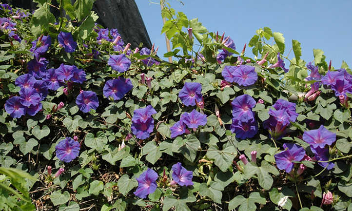 Ipomoea Tricolor: Growing Great Grannyvines | Epic Gardening