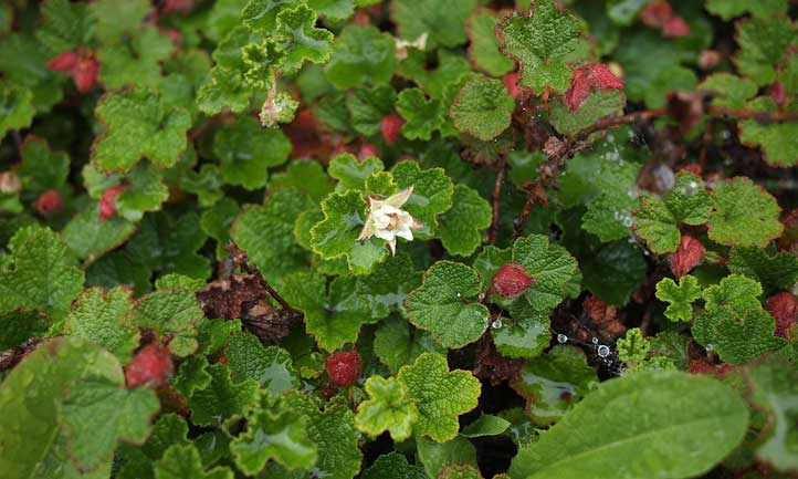 Contrary to its delicious counterparts, creeping raspberry makes an excellent ground cover