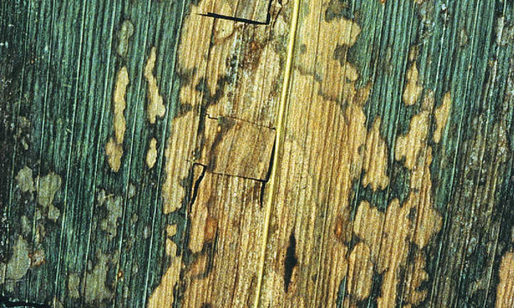Septoria Leaf Spot: What It Is And How To Fix It | Epic