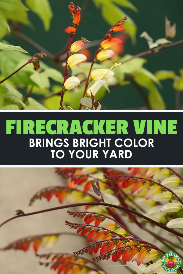 The firecracker vine, Mina lobata or ipomoea lobata, creates sprays of brilliantly-colored flowers. Our guide shows you how to grow it!