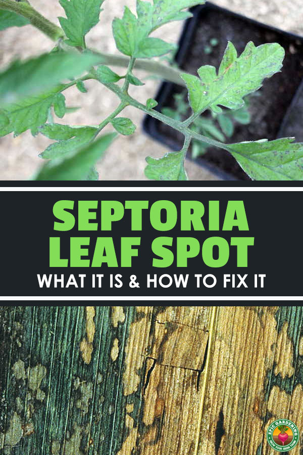 Septoria leaf spot is one of the most common garden diseases. Here\'s how to identify and treat this fungal infection!
