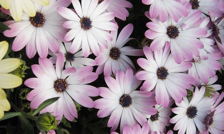 Multicolored cineraria flowers