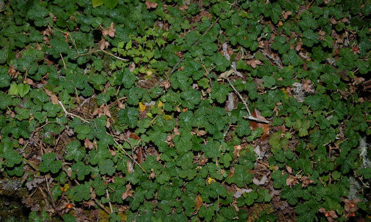 Creeping raspberry plants