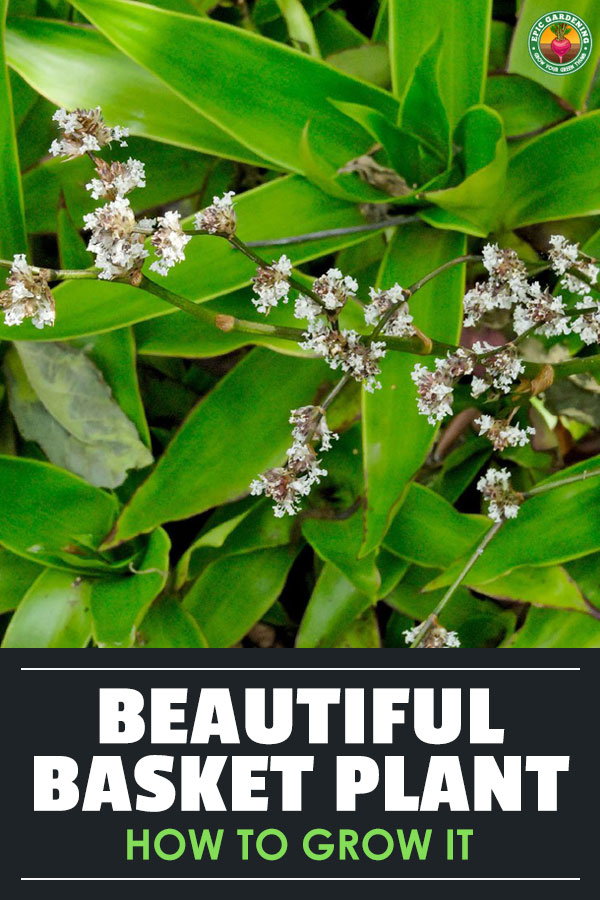 Callisia fragrans, also called basket plant, is the perfect subtropical houseplant for beginners. We\'ll teach you how to grow your own!