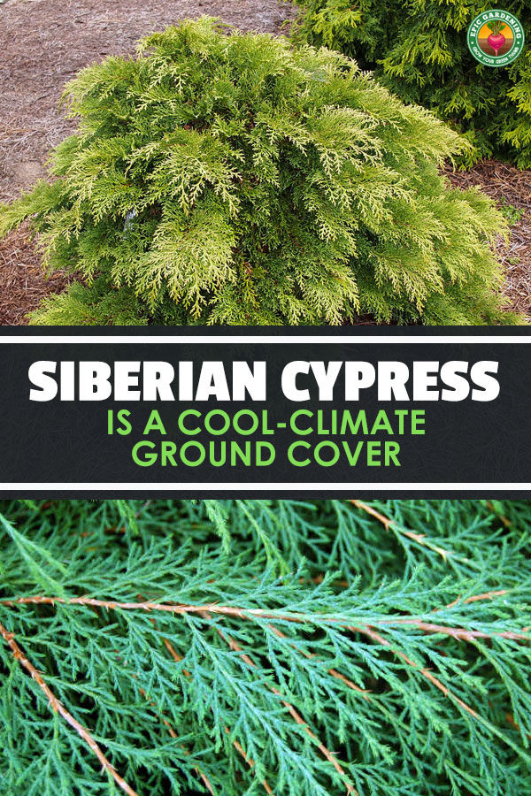 Microbiota decussata, the Siberian cypress, makes a fantastic low-growing shrub or ground cover plant. Our guide tells you how to grow it!