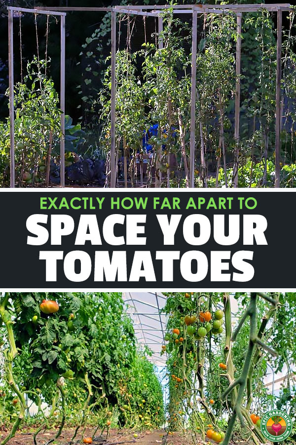 Tomato spacing is a tricky subject, because it depends on the type of tomato you grow and how you\'re growing it. Learn tomato plant spacing!