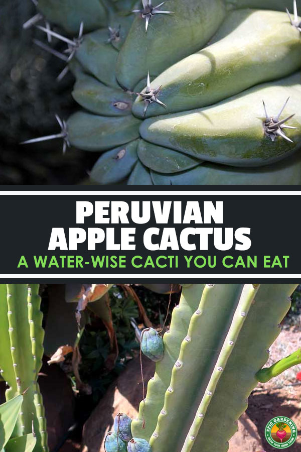 Cereus peruvianus, also called the Peruvian apple cactus, is a gorgeous and water-wise ornamental with tasty, edible fruits.