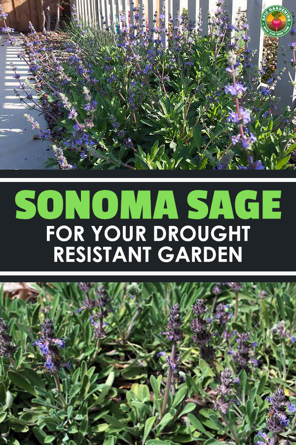 Salvia sonomensis is a drought-resistant California native plant. If you\'re doing xeriscaping, this is for you! Our guide explains it all.