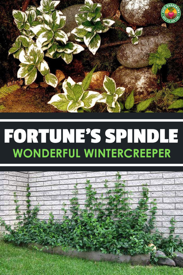 Wonderful wintercreeper can be a fantastic climbing vine, a low ground cover, or anything between. Learn care techniques in our full guide!