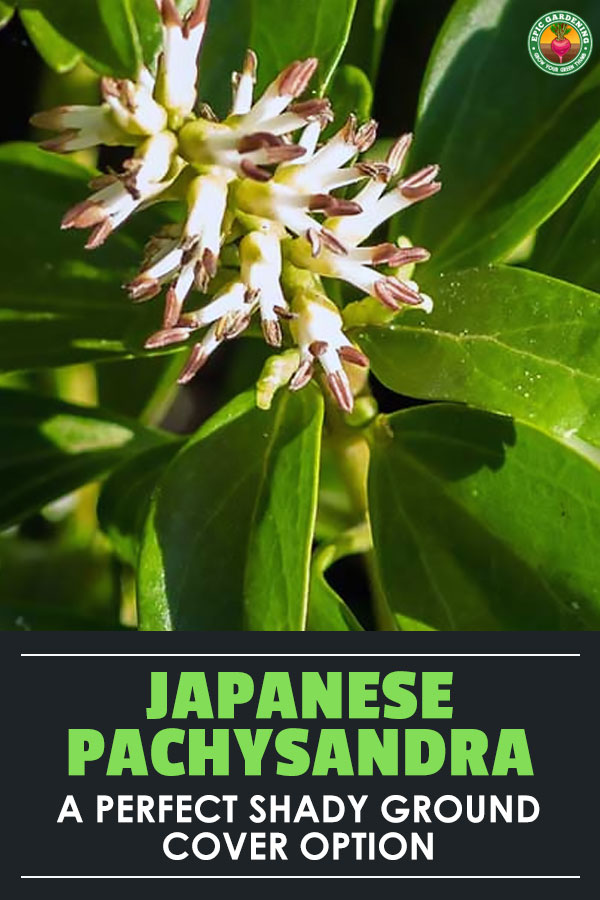 Pachysandra terminalis, also known as Japanese spurge, is a classic low-maintenance shady ground cover.