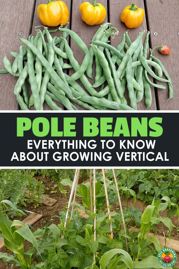 Pole beans are an incredibly versatile and easy veggie to grow in the garden, so learn how to cultivate them in our complete grow guide.