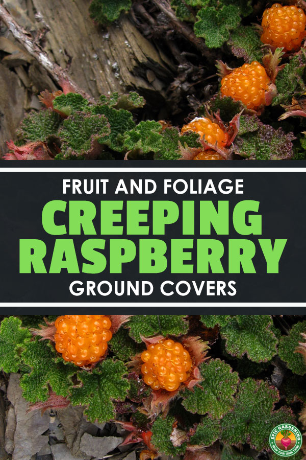 Looking for a low-maintenance ground cover? Creeping raspberry provides beautiful foliage and even fruits! Our growing guide explains it all.