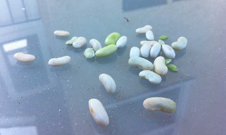 Pole bean seeds are some of the easiest to save you'll come across in the garden.