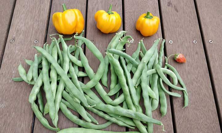 A delicious looking harvest of beans and peppers.