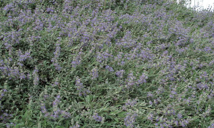 Salvia 'Bee's Bliss'