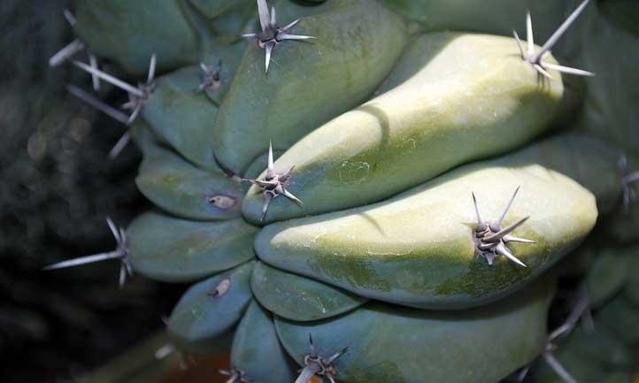 Cereus peruvianus 'Monstrosus' variety living up to its name