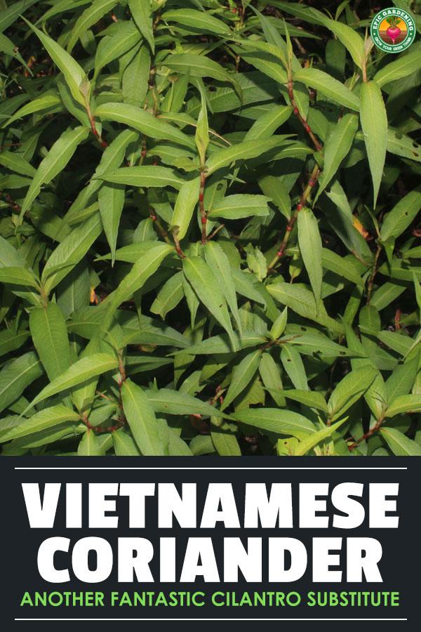 Vietnamese coriander (Persicaria odorata), known as rau ram in Vietnam, is a fantastic cilantro substitute you should grow in your garden.