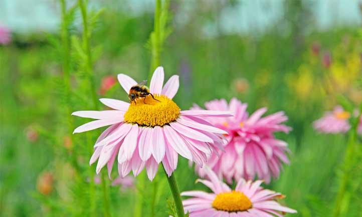 Pollinators love Tanacetum coccineum