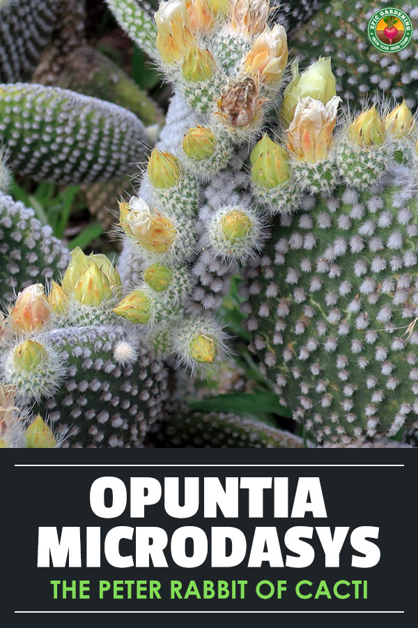 Opuntia microdasys, or bunny ears cactus, is a cute and simple houseplant or ornamental to care for. Learn how here.