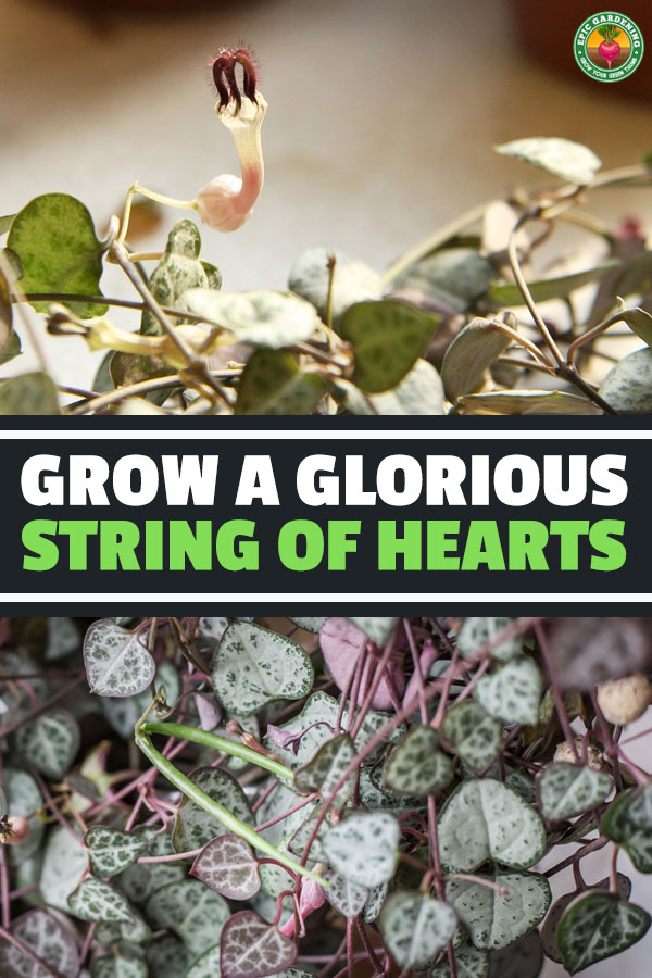This sweetheart of a vine, ceropegia woodii, forms unusual flowers and heart-shaped leaves. Our guide reveals the top tips for growing it!