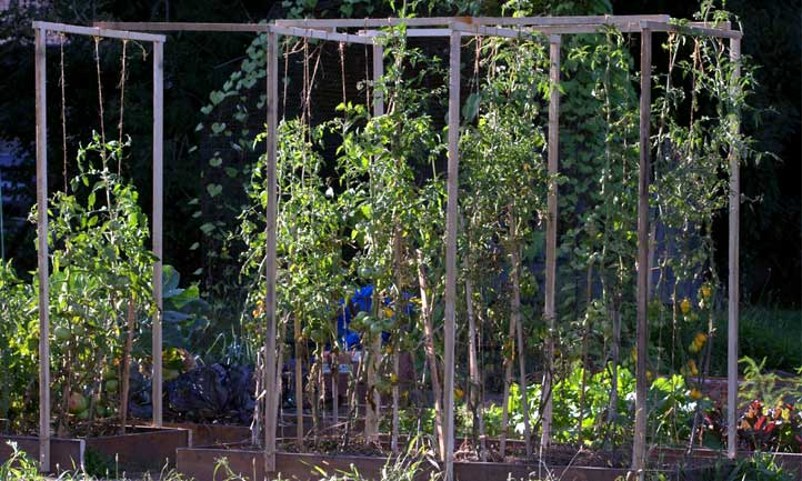 Tomato plant spacing is highly dependent on the type of tomato you're growing.