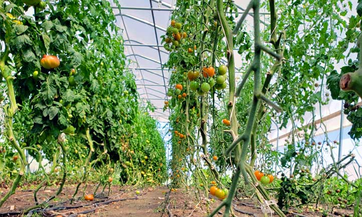 Tomato spacing in a greenhouse