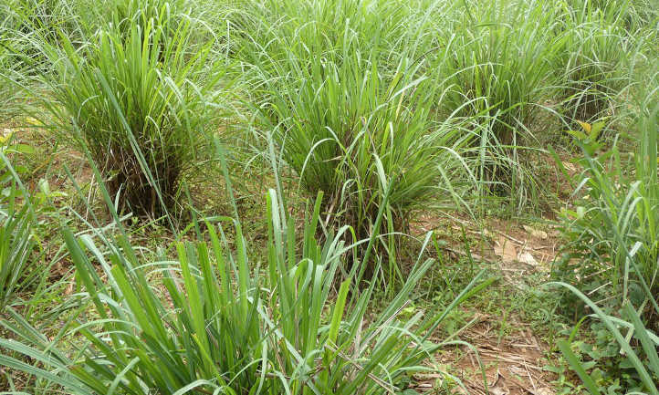 Lemongrass plants in field