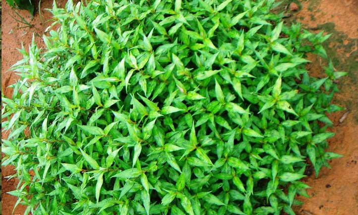 The bushy prolific growing habit of vietnamese coriander makes it an amazing kitchen herb