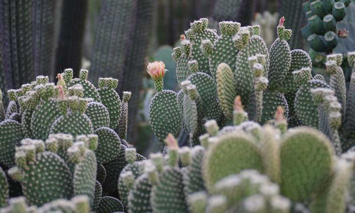 Angel wing cactus is versatile as both a houseplant and ornamental outdoor option