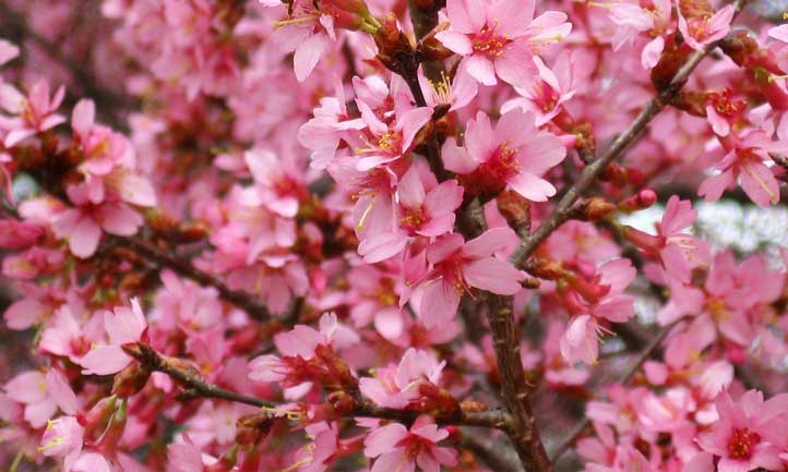 Close up of flowering cherry, pollinated by a bee