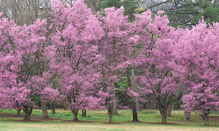 A full stand of okame cherry trees at an arboretum