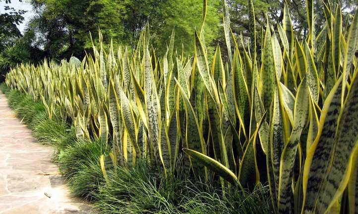 Snake plant, Laurenti variety