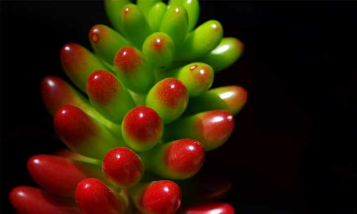 Sedum rubrotinctum has a shiny, distinct look - like a jelly bean