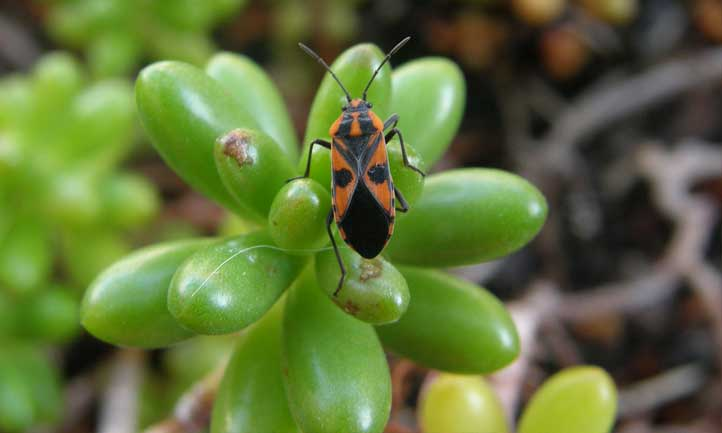 A bug hanging out on the jelly beans plant