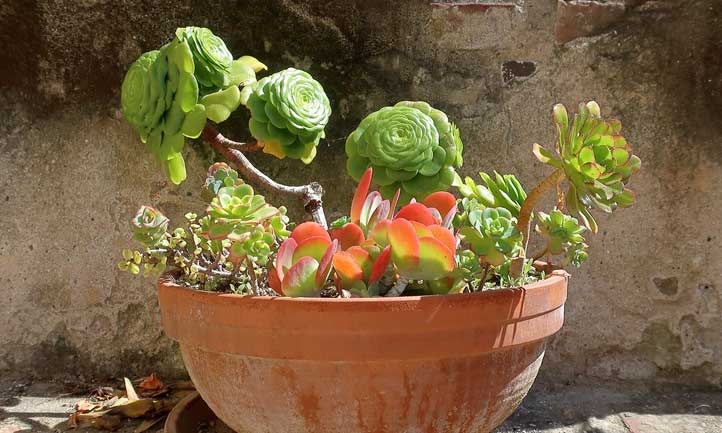Aeonium 'Kiwi' in a planter with kalanchoe, etc.