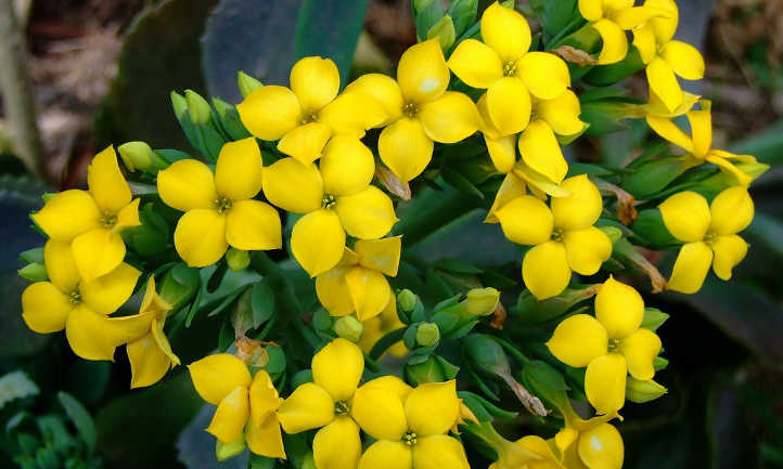 Kalanchoe Blossfeldiana How To Grow Flaming Katy In Your Home