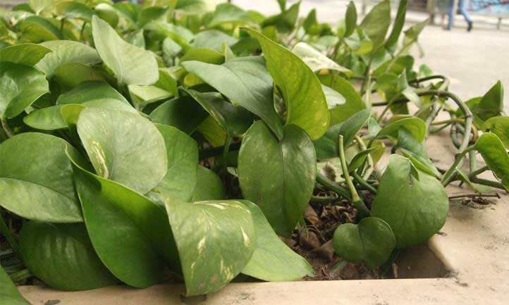 Moving your pothos into an area with more sun will spur the growth of the plant considerably.