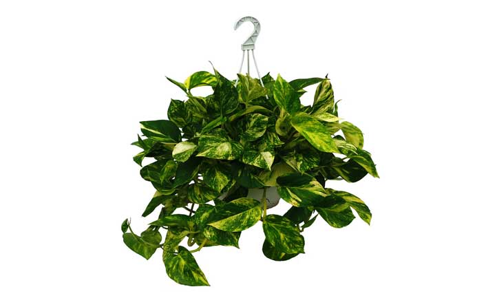 How to make a pothos fuller