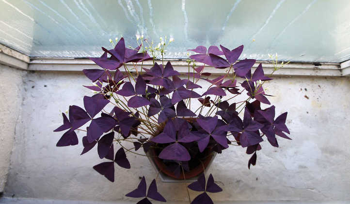 Purple love plant