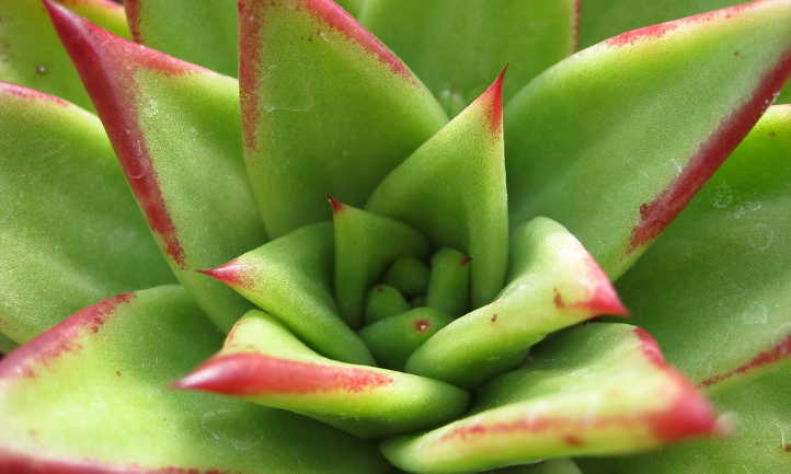 Echeveria Agavoides Tending To The Wax Agave Epic Gardening