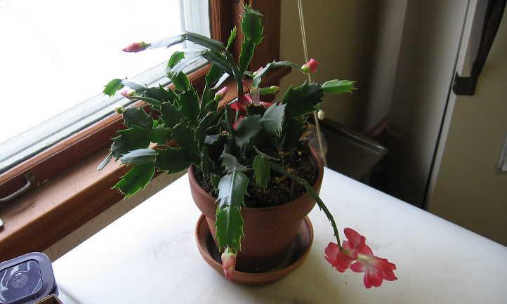 Propagating Christmas cactus