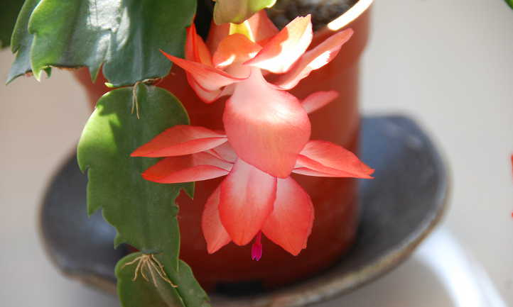 Stem and flower of Christmas cactus