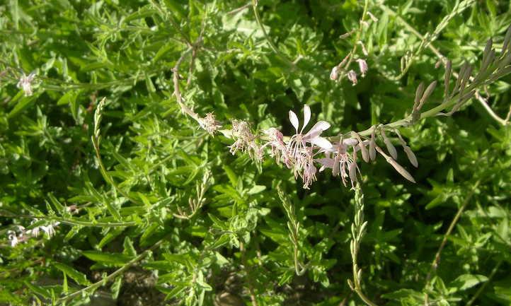 Gaura foliage