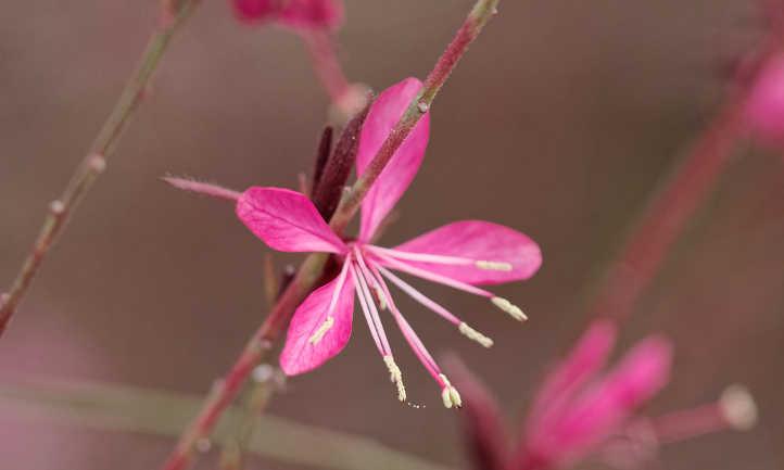 Pink gaura flowers