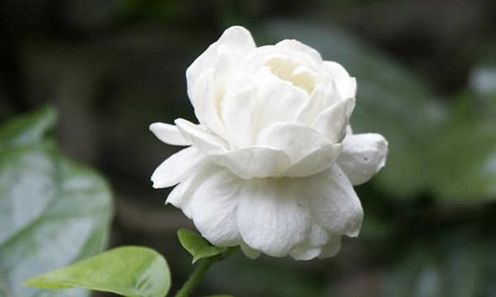 Arabian jasmine var Grand Duke Of Tuscany