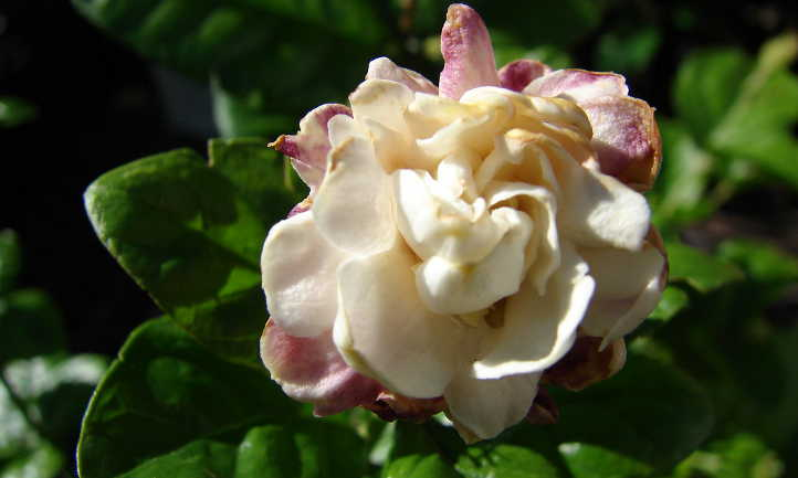 Fading jasmine flower