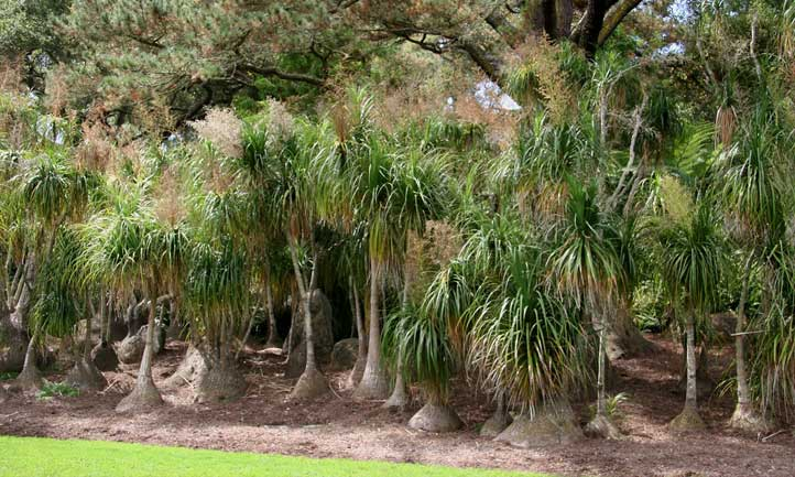 A massive stand of Beaucarnea recurvata outdoors